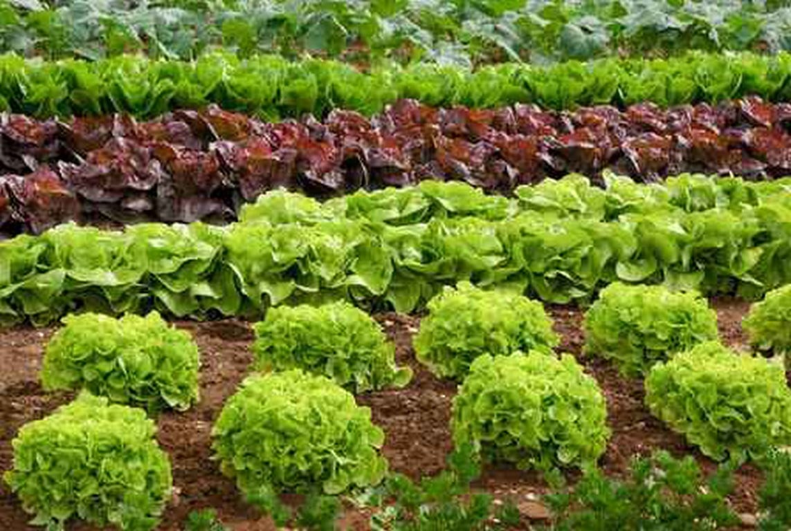 Plantes du potager