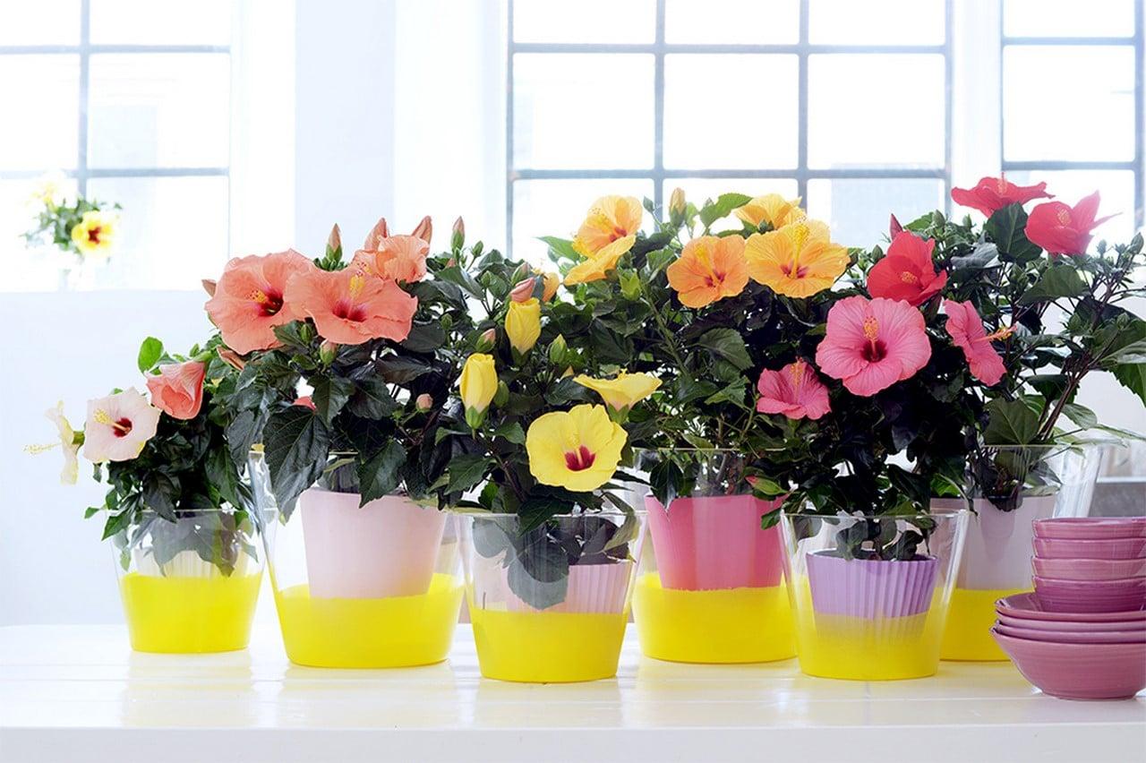 A Chaque Mois Sa Plante, mai : l'Hibiscus