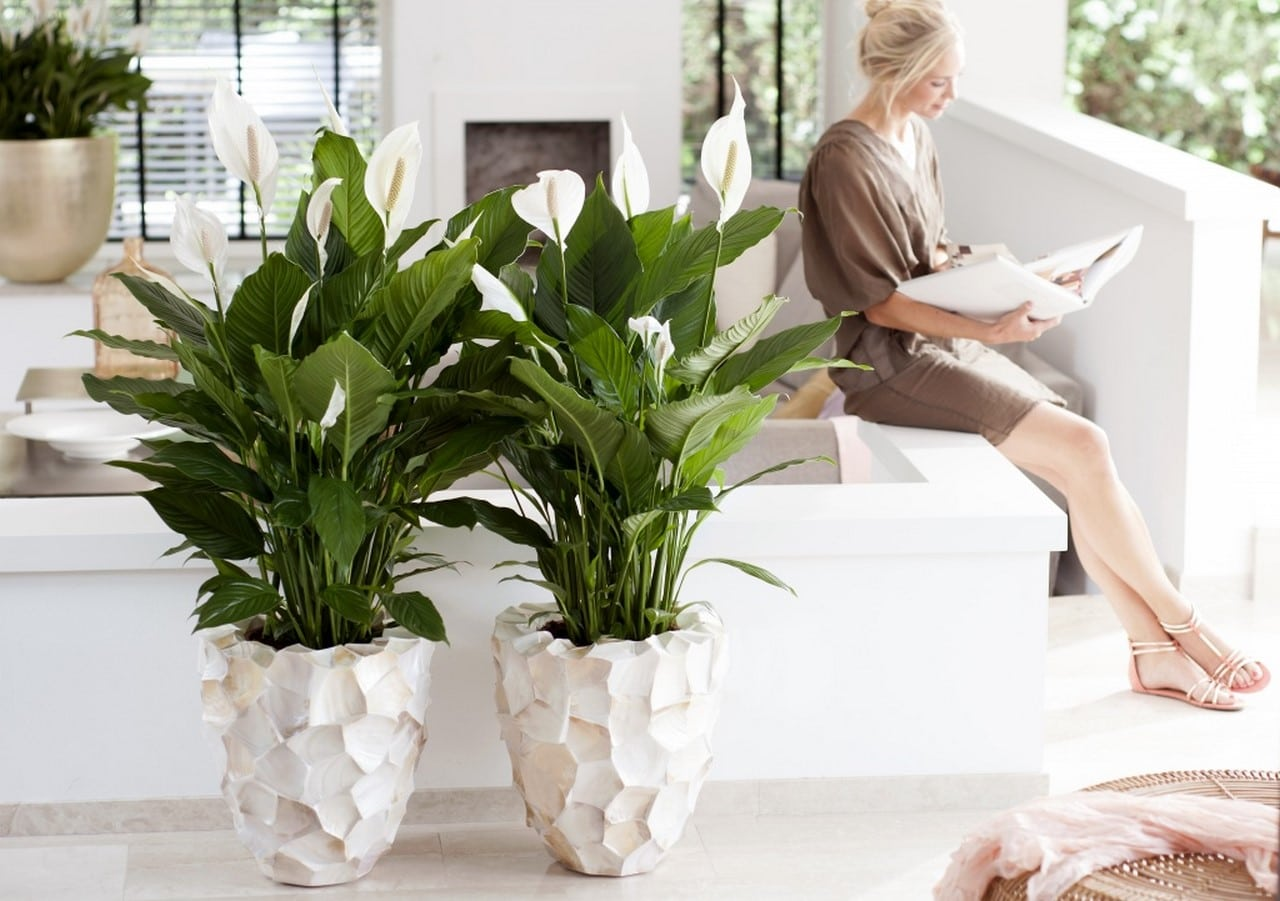 A Chaque Mois Sa Plante juin  : le Spathiphyllum