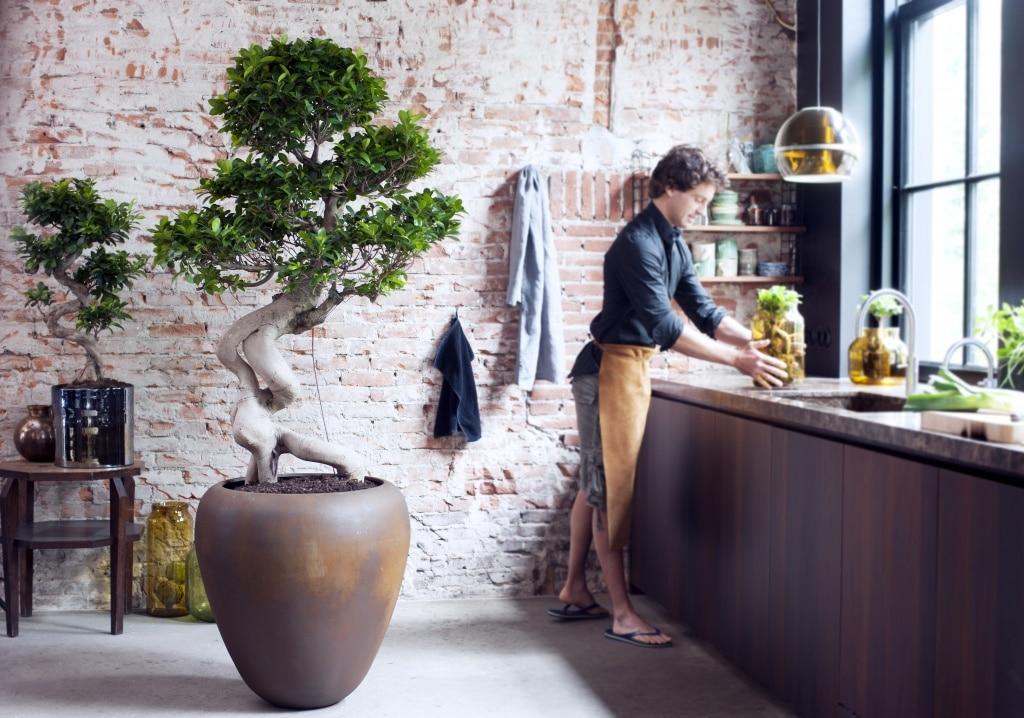 A Chaque Mois Sa Plante juillet le Ficus Ginseng