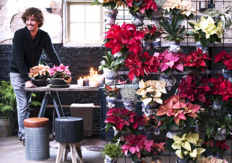 A Chaque Mois Sa Plante novembre  le Poinsettia