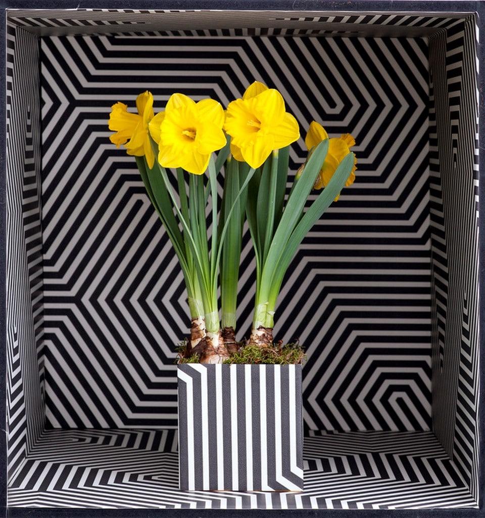 A chaque mois sa plante, février 2016 : le Narcisse