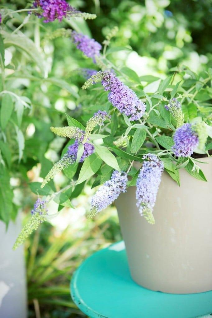 La Plante de Jardin du Mois d'août : l'Arbre à Papillons