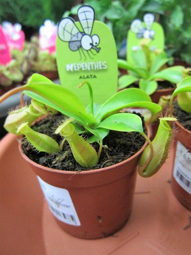 Plantes carnivores 15 rocchietta aix la garde hyeres for Rocchietta la garde