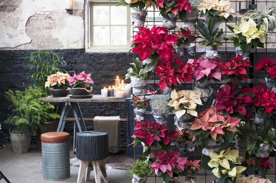 Le Poinsettia,Étoile de Noël, plante du mois de decembre –