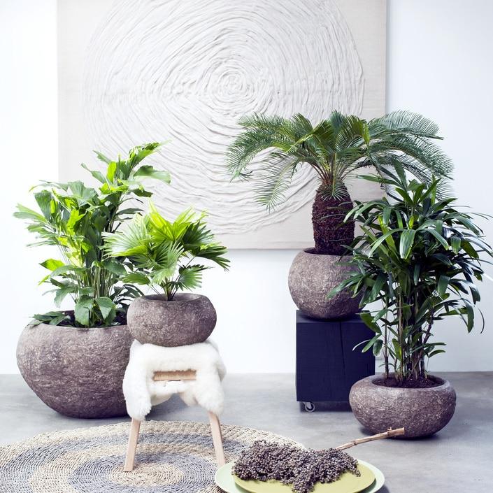 A Chaque Mois Sa Plante, février 2017 : les palmiers d'exception