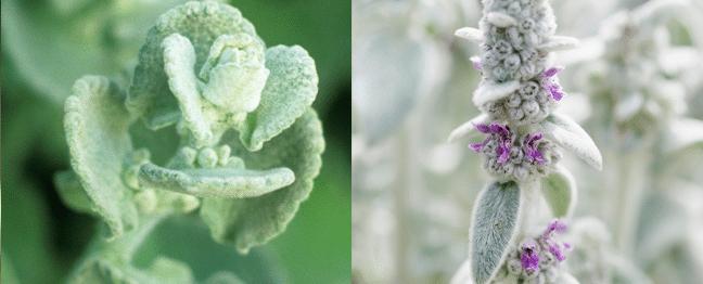 Besoin de douceur ? Adoptez une plante doudou !